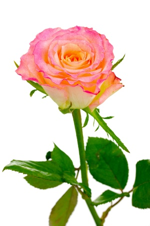 mornings: Beautiful pink rose isolated on white