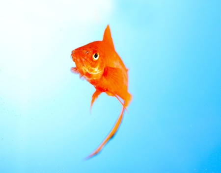 Goldfish closeup in water on blue background photo