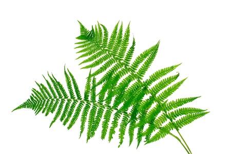 helechos: Dos hojas verdes de helechos aislado en blanco Foto de archivo