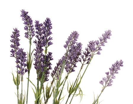 Beautiful lavender flowers isolated on white