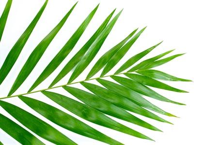 hamedoreya: Beautiful palm leaf isolated on white