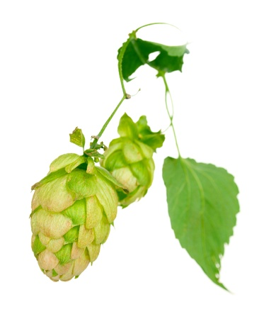 beautiful green hop isolated on white Stock Photo - 11069664
