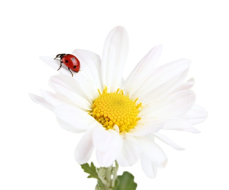 Ladybud sitting on chamomile flower isolated on white photo