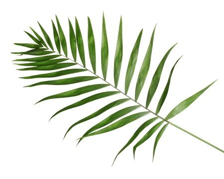 Belle feuille de palmier isol� sur blanc Banque d'images