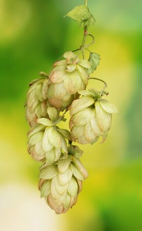 beautiful green hop on green background Stock Photo - 11069209