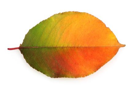 vivid autumn leaf isolated on white photo
