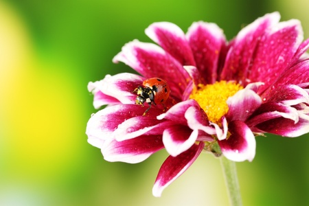 Ladybug on beautiful flower on green background photo