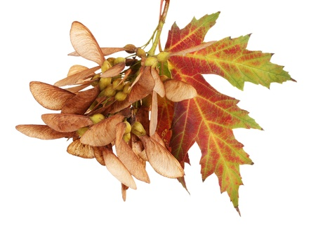 aceraceae: maple seed and autumn leaf isolated on white