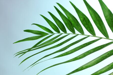 hamedoreya: Beautiful palm leaf on blue background