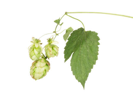 beautiful green hop isolated on white photo