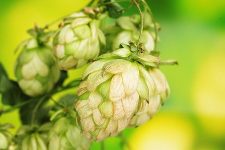 beautiful green hop on green background Stock Photo - 11194777