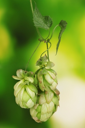beautiful green hop on green background Stock Photo - 11194766