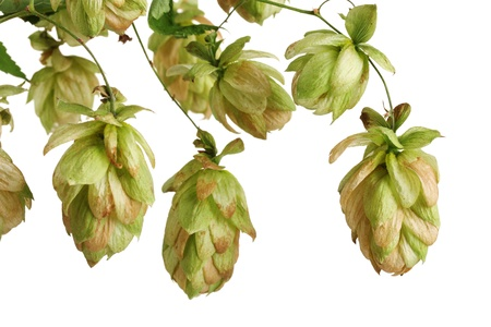beautiful green hop isolated on white Stock Photo - 11194577