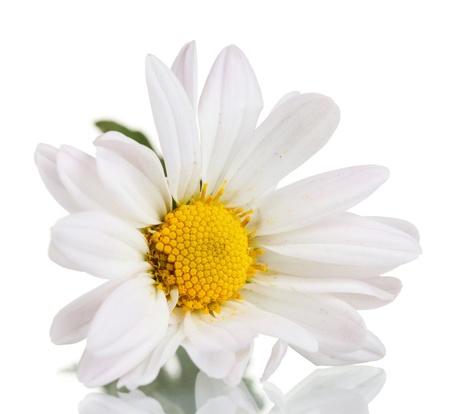 white daisy: chamomile flower isolated on white