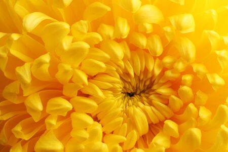 Yellow autumn chrysanthemum macro photo