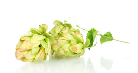 beautiful green hop isolated on white Stock Photo - 11288208