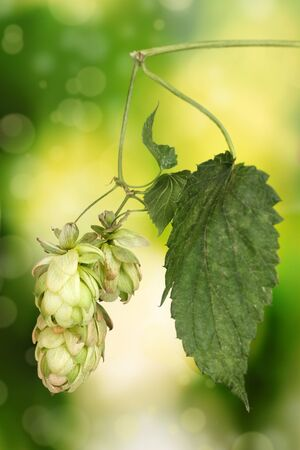beautiful green hop on green background Stock Photo - 11288389