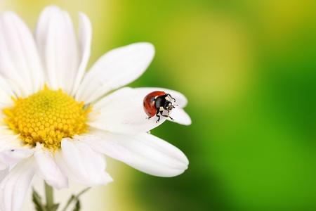 Ladybud sitting on chamomile flower on green background photo