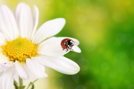 Ladybud sitting on chamomile flower on green background photo