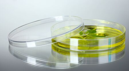 Genetically modified plant tested in petri dish gray background photo
