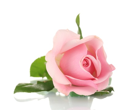 rose isolated: Pink rose isolated on white Stock Photo