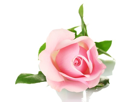 핑크 장미, 화이트에 격리