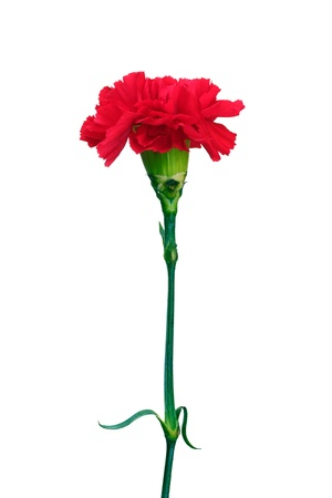 Red carnation isolated on white Stock Photo - 11399587