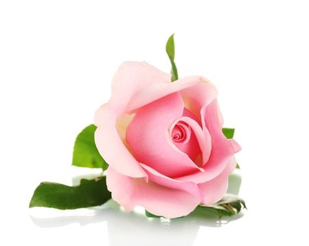 rose petals: Pink rose isolated on white Stock Photo
