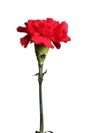Red carnation isolated on white Stock Photo - 11511744