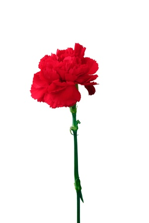 Red carnation isolated on white Stock Photo - 11511724