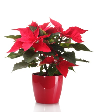 beautiful poinsettia in flowerpot isolated on white photo