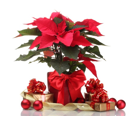 beautiful poinsettia in flowerpot, New Years balls and gifts isolated on white Stock Photo