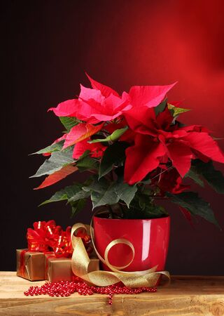 beautiful poinsettia in flowerpot and gifts on wooden table on red background photo