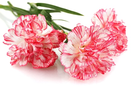 Beautiful carnations isolated on white