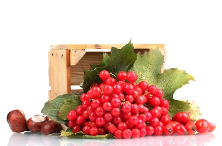 red berries of viburnum in wooden box, chestnuts and briar isolated on white photo