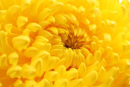 Yellow autumn chrysanthemum macro photo