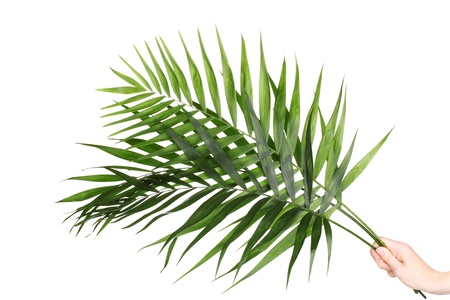 rabbet: Beautiful palm leaves isolated on white