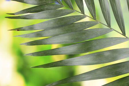 hamedoreya: Beautiful palm leaf on green background