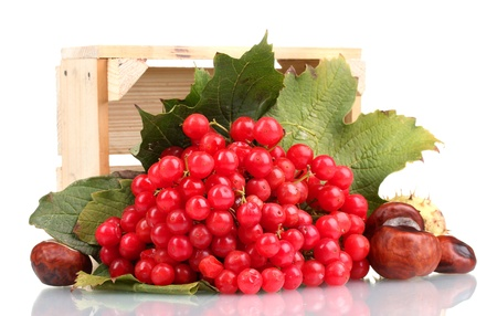 red berries of viburnum in wooden box and chestnuts isolated on white photo
