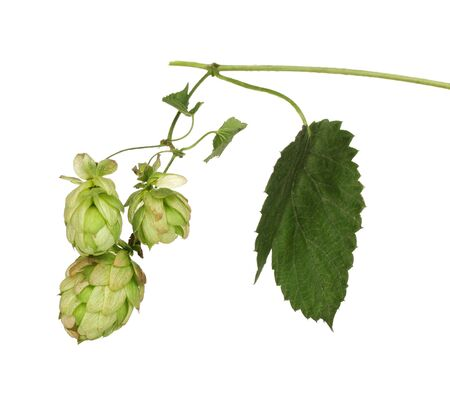beautiful green hop isolated on white Stock Photo - 11831437
