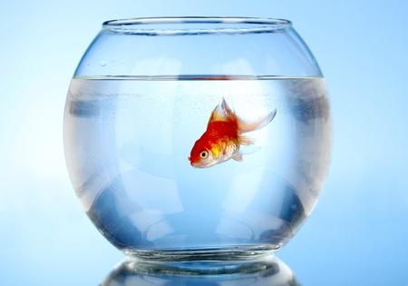 pez dorado: Goldfish en el acuario sobre fondo azul