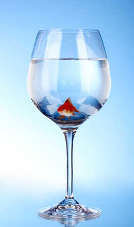 Goldfish in glass on blue background photo
