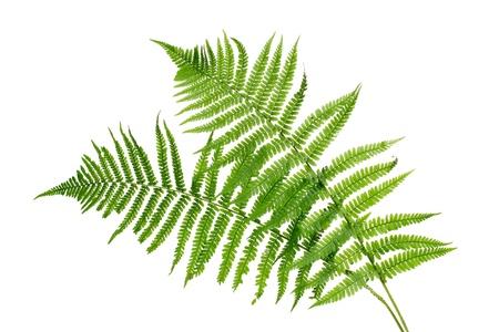 Dos hojas de helecho verde aislado en blanco