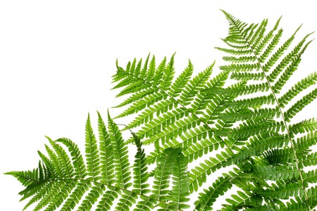 Three green leaves of fern isolated on white Stock Photo