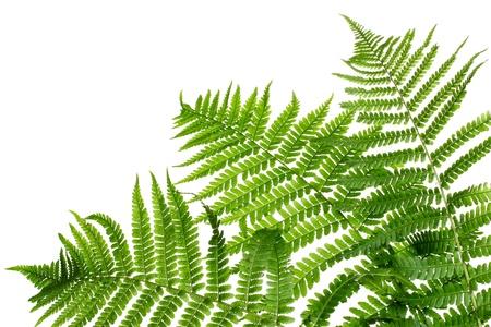 Tre foglie verdi di felce isolato su bianco