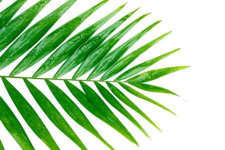 rabbet: Beautiful palm leaf isolated on white