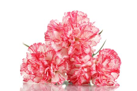 Beautiful carnations isolated on white photo