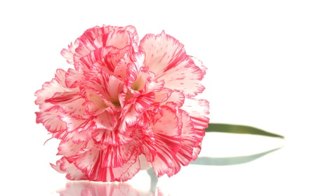 crimson colour: Beautiful carnation isolated on white