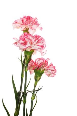 clavel: Claveles Beautiful aislado en blanco