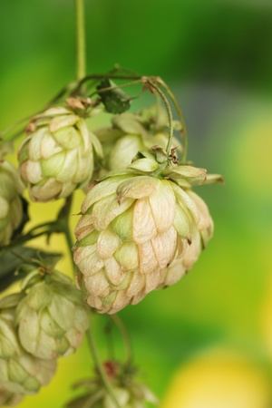 beautiful green hop on green background Stock Photo - 12021755